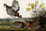 Pinnated Grouse John James Audubon